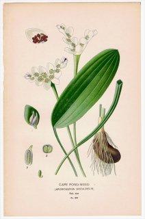 1897年 Step 庭と温室のお気に入りの植物 Pl.297 レースソウ科 レースソウ属 CAPE POND-WEED
