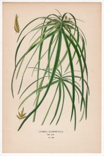 1897年 Step 庭と温室のお気に入りの植物 Pl.298 カヤツリグサ科 カヤツリグサ属 シュロガヤツリ CYPERUS ALTERNIFOLIUS