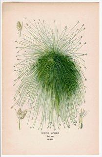 1897年 Step 庭と温室のお気に入りの植物 Pl.299 カヤツリグサ科 ビャッコイ属 SCIRPUS RIPARIUS