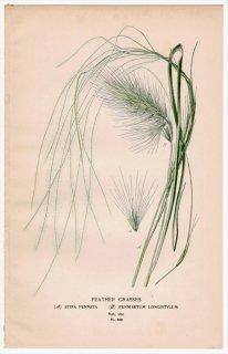 1897年 Step 庭と温室のお気に入りの植物 Pl.300 イネ科 ハネガヤ属 クリノイガ属 2種