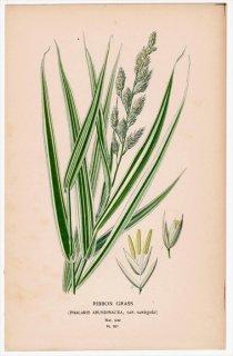 1897年 Step 庭と温室のお気に入りの植物 Pl.301 イネ科 クサヨシ属 クサヨシ RIBBON GRASS