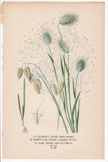 1897年 Step 庭と温室のお気に入りの植物 Pl.302 イネ科 コバンソウ ウサギノオ ペリバリア属 3種