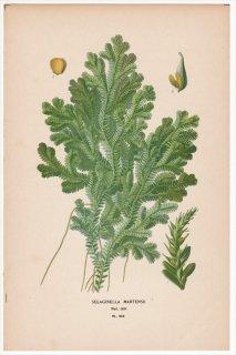1897年 Step 庭と温室のお気に入りの植物 Pl.303 イワヒバ科 イワヒバ属 SELAGINELLA MARTENSII