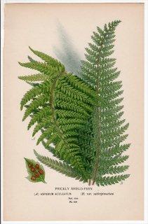 1897年 Step 庭と温室のお気に入りの植物 Pl.304 オシダ科 イノデ属 2種 PRICKLY SHIELD-FERN