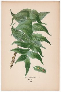 1897年 Step 庭と温室のお気に入りの植物 Pl.305 オシダ科 ヤブソテツ属 オニヤブソテツ ASPIDIUM FALCATUM