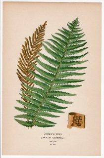 1897年 Step 庭と温室のお気に入りの植物 Pl.307 コウヤワラビ科 クサソテツ属 クサソテツ OSTRICH FERN