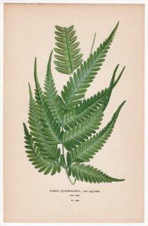 1897年 Step 庭と温室のお気に入りの植物 Pl.308 イノモトソウ科 イノモトソウ属 PTERIS QUADRIAURITA var.arryraea
