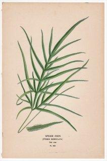 1897年 Step 庭と温室のお気に入りの植物 Pl.309 イノモトソウ科 イノモトソウ属 イノモトソウ SPIDER FERN