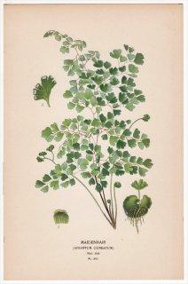 1897年 Step 庭と温室のお気に入りの植物 Pl.310 イノモトソウ科 ホウライシダ属 コバホウライシダ MAIDENHAIR