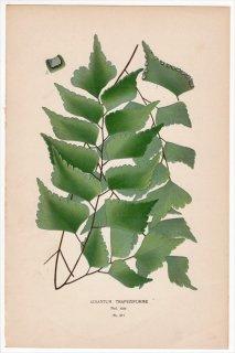 1897年 Step 庭と温室のお気に入りの植物 Pl.311  イノモトソウ科 ホウライシダ属 ヒシガタホウライシダ ADIANTUM TRAPEZIFORME