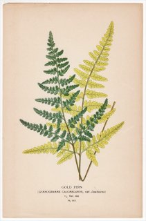 1897年 Step 庭と温室のお気に入りの植物 Pl.312 イノモトソウ科 ギンシダ属 ギンシダ GOLD FERN