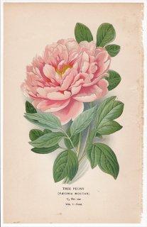 1897年 Step 庭と温室のお気に入りの植物 Vol.1.Front ボタン科 ボタン属 ボタン TREE PEONY