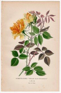1897年 Step 庭と温室のお気に入りの植物 Vol.2.Front バラ科 バラ属 NOISETTE ROSE ノアゼットローズ