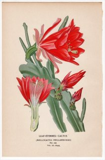 1897年 Step 庭と温室のお気に入りの植物 Vol.3.Front サボテン科 ディソカクツス属 LEAF-STEMMED CACTUS 多肉植物