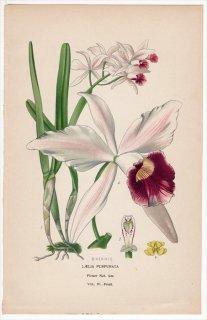 1897年 Step 庭と温室のお気に入りの植物 Vol.4.Front ラン科 カトレヤ属 LAELIA PURPURATA