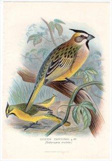 1899年 Butler 外国産フィンチ類 ホオジロ科 コクカンチョウ属 コクカンチョウ GREEN CARDINAL