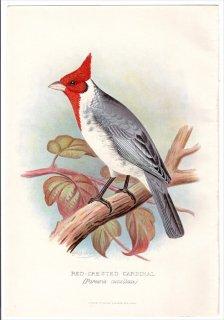 1899年 Butler 外国産フィンチ類 フウキンチョウ科 コウカンチョウ属 コウカンチョウ RED-CRESTED CARDINAL 紅冠鳥