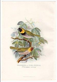 1899年 Butler 外国産フィンチ類 フウキンチョウ科 クビワスズメ属 クビワスズメ MELODIOUS or CUBA FINCH