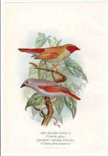 1899年 Butler 外国産フィンチ類 カエデチョウ科 ニシキスズメ属 ビジョスズメ RED-FACED FINCH アカバネビナンスズメ CRIMSON-WINGED FINCH