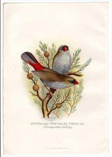 1899年 Butler 外国産フィンチ類 カエデチョウ科 スタゴノプレウラ属 サザナミスズメ AUSTRALIAN FIRE-TAILED FINCH