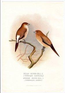 1899年 Butler 外国産フィンチ類 カエデチョウ科 ギンバシ INDIAN SILVER-BILL アフリカギンバシ AFRICAN SILVER-BILL