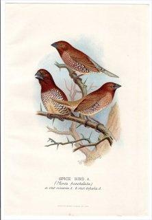 1899年 Butler 外国産フィンチ類 カエデチョウ科 キンパラ属 シマキンパラ SPICE BIRD