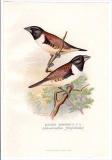 1899年 Butler 外国産フィンチ類 カエデチョウ科 キンパラ属 オオシッポウ MAGPIE MANNIKIN