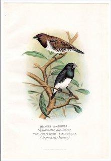 1899年 Butler 外国産フィンチ類 カエデチョウ科 キンパラ属 ハゴロモシッポウ BRONZE MANNIKIN クロシッポウ TWO-COLOURED MANNIKIN