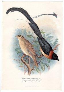 1899年 Butler 外国産フィンチ類 テンニンチョウ科 テンニンチョウ属 ホウオウジャク PARADISE WHYDAH
