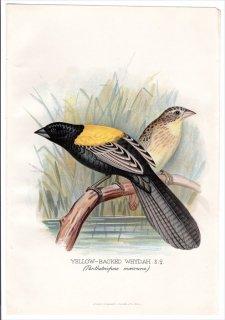 1899年 Butler 外国産フィンチ類 ハタオリドリ科 キンランチョウ属 キガタホウオウ YELLOW-BACKED WHYDAH