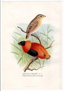 1899年 Butler 外国産フィンチ類 ハタオリドリ科 ハタオリ属 オレンジハタオリ ORANGE WEAVER