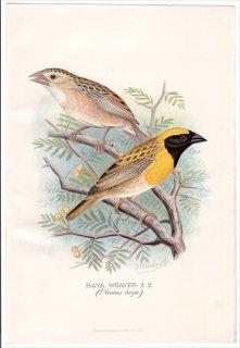 1899年 Butler 外国産フィンチ類 ハタオリドリ科 ハタオリ属 キムネコウヨウジャク BAYA WEAVER