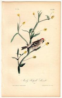 1840年 Audubon Birds of America Pl.178 アトリ科 ヒワ属 ベニヒワ 雄 Mealy Redpoll Linnet Male