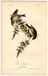 1840年 Audubon Birds of America Pl.180 アトリ科 ヒワ属 マツノキヒワ 雄 雌 Pine Linnet