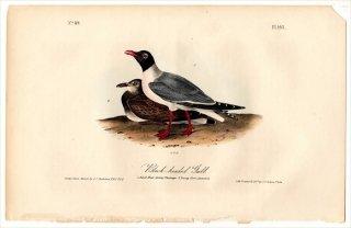 1840年 Audubon Birds of America Pl.443 カモメ科 カモメ属 ユリカモメ Black-headed Gull 成鳥 若鳥