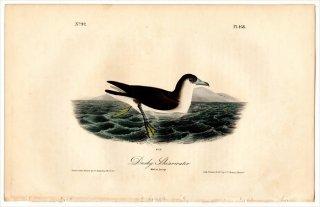 1840年 Audubon Birds of America Pl.458 ミズナギドリ科 ミズナギドリ属 マンクスミズナギドリ 雄 Dusky Shearwater