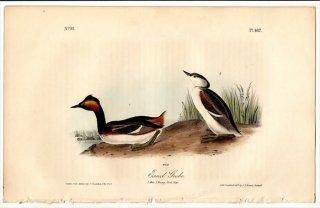 1840年 Audubon Birds of America Pl.482 カイツブリ科 カンムリカイツブリ属 ハジロカイツブリ 雄 Eared Grebe