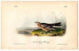 1840年 Audubon Birds of America Pl.487 ツメナガホオジロ科 ツメナガホオジロ属 ヒバリツメナガホオジロ 雄 成鳥 Smith's Lark Bunting