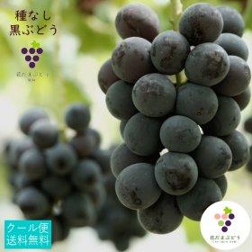 (種なし)花だま黒ぶどう(BKシードレス)2kg 送料無料 鹿児島県 (収穫期間:8月下旬〜9月初旬まで)