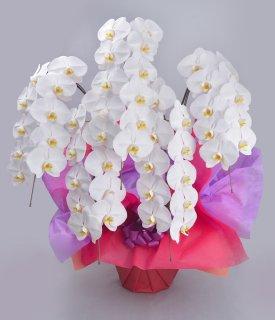 《極スタンダード》ホワイト5本立ち 胡蝶蘭