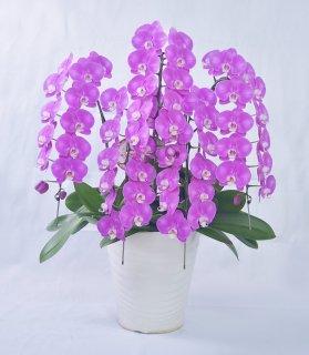 《ヒロバイオレット》ピンク5本立ち 胡蝶蘭