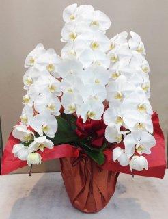 胡蝶蘭 3本立て ホワイト (POP_RAN-HL)