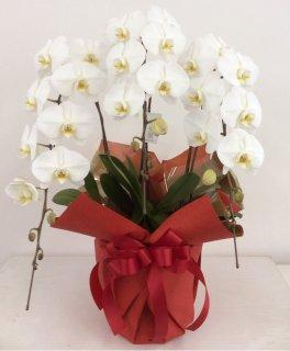 胡蝶蘭 3本立て ホワイト (ENZ_RAN-PL-W3)