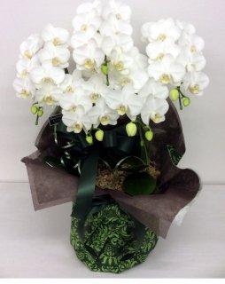 胡蝶蘭 5本立て ホワイト (ENZ_RAN-MD-W5)