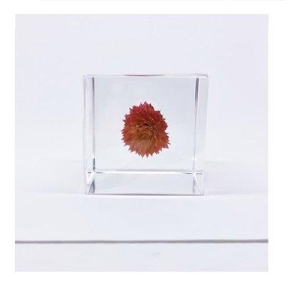 Sola cube センニチコウ