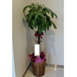 6000円品種おまかせ観葉植物鉢