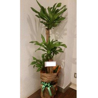 8000円品種おまかせ観葉植物鉢