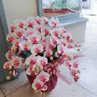 光触媒加工 胡蝶蘭 絞り赤(白×赤) Sサイズ5本立ち 陶器鉢植え 花ギフト