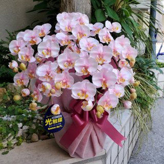 光触媒加工 胡蝶蘭 絞りピンク(淡ピンク) Sサイズ5本立ち 陶器鉢植え 花ギフト