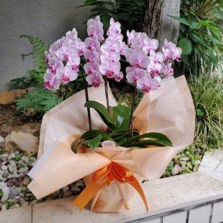ピンク欄鉢 小リン (写真:ビューティシーナランラン 胡蝶蘭)